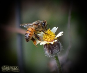 Honey Bee enjoying a yellow flower.